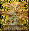 Big Head Heavy Head Female 10 Marijuana Seeds